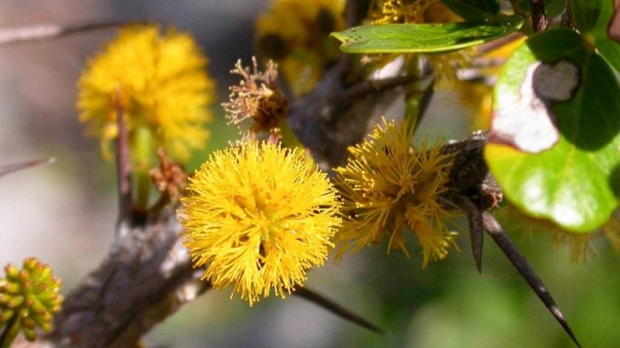 Acacia anegadensis