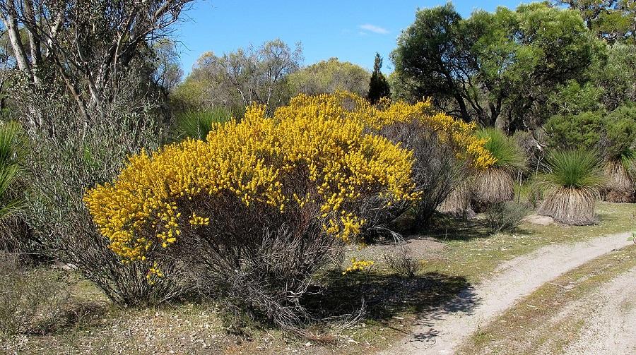 Acacia brachypoda
